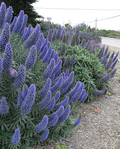 Echium candicans Pride of Madeira. I remember these from my trip to LA. I saw them everywhere and fell in love with them. Wish they'd grow here in WI.