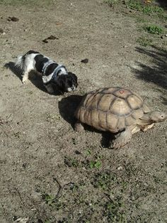 """This dog who plans to steal this tortoise's shell, fully aware of """"squatter's rights."""" 