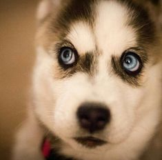 Husky. Wow. Look at those eyes!