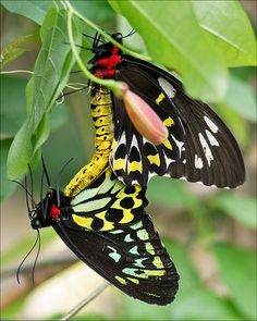 Mating Birdwing Butterflies by Foto Martien, via Flickr  The brightly coloured Priam's birdwing butterfly, from New Guinea.  Read more: http://www.smh.com.au/environment/animals/sir-david-names-the-top-10-endangered-species-for-his-ark-20121029-28dr3.html#ixzz2AdKkAlCm