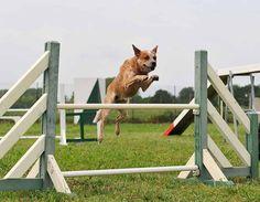 Australian Cattle dog in agility contest
