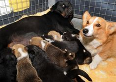 A rottweiler lost her litter of pups. While a corgi momma is unable to provide milk to her pups. The two mommas teamed up to raise the puppies. How awesome!