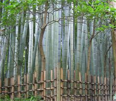 bamboo forest, Kamakura, Japan