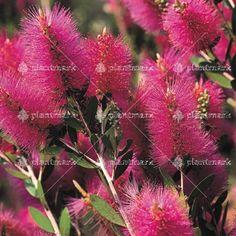 Callistemon Hot Pink