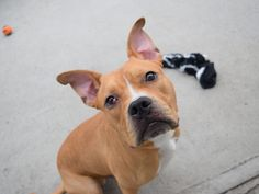 KURRY - A1082958      ***ALWAYS ON HIS BEST BEHAVIOR!   A JOY WAITING FOR SOMEONE!*****PUPPY ALERT - ONLY 1 YR. OLD