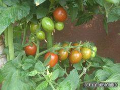 Gourmetkaters Marktplatz: Jetzt ist Zeit der Tomaten-Ernte! #food #gardening