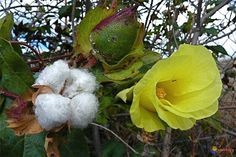 Gossypium arboreum; flower, ball and seeds covered with fibers...