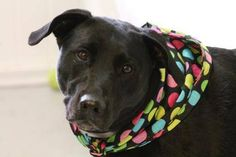 NAME: Jello & Coal (Bonded Pair) ANIMAL ID: 25300693-672  BREED: Retriever mixes  SEX: 1 male 1 female (altered)  EST. AGE: 4 yr  Est Weight: 47-82 lbs  Health: heartworm neg  Temperament: dog friendly, people friendly, kid friendly ADDITIONAL INFO: Siblings  RESCUE PULL FEE: $49 (each)  Intake date: 4/2  Available: Now