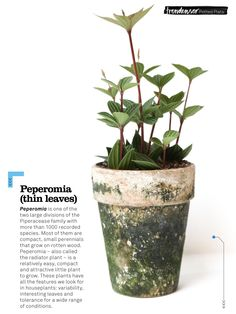 ...peperomia plant, thin leaves (trendenser.se)