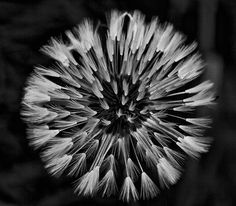 dandelion  black white
