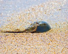 Horeshoe crabs primarily live in shallow ocean waters on soft muddy sand and occasionally come to the shore.