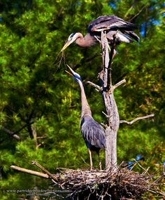 Getting it Right in the Digital Camera : Great Blue Heron on Harvey Pond    male bringing the female a twig