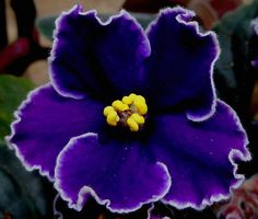 African Violet - how beautiful with the white edging and indigo colored petals.