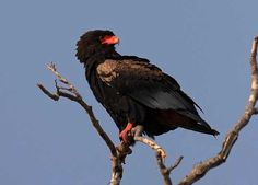 Terathopius ecaudatus - Bateleur--  Sighted: 5/29/2015 Phinda Private Game Reserve, ZA; etc.