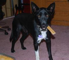 GRANT is a male Border Collie mix, 35 pounds and 1 year old.  He's house-trained and good with other dogs.  Grant is still a puppy and his energy and curiosity levels show it. Introductions to cats or kids should be carefully monitored as he's not had exposure.  Grant will be neutered this month and ready for adoption soon, thereafter.  Don't let his puppy personality scare you — he's gonna be great!  Spread the word!    http://www.lastdaydogrescue.org/animals/detail?AnimalID=4957687