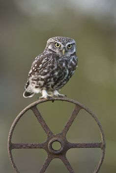 Little Owl (Athene noctua) Male by phil winter Owl Photos, Owl Pictures, Owl Bird, Pet Birds, Loro Animal, Tiger Artwork, Saw Whet Owl, Burrowing Owl, Photo To Art