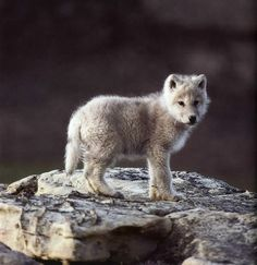 Requested: Baby wolf. Unknown photographer.
