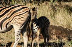 Baby Zebra facebook.com/Parrottspics