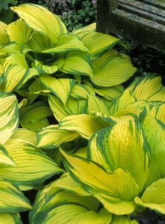 "Hosta ""Kinkaku""  24"" tall, 42"" wide"