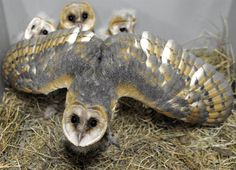 A mom is a mom is a mom...Protective mama A mother barn owl protects her babies at the Amneville Zoo in France on July 8.