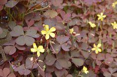 Det er brun surkløver, Oxalis corniculata. Smuk og sød, når man køber den i en potte, men kommer den ud i haven, ender den som et besværligt ukrudt. Der burde stå en advarsel på potten.