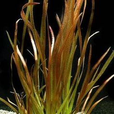 Vallisneria spiralis Red