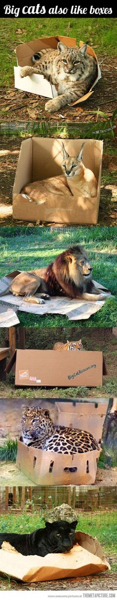 Big cats are just cats - they also love boxes!  I love the lion's box is completely crushed.  LOL