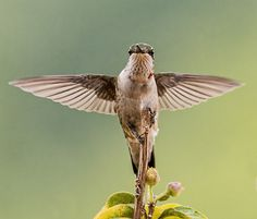PHOTO OF THE DAY How hummingbirds gave up the ability to walk for better flight   Read more: http://www.mnn.com/earth-matters/animals/blogs/how-hummingbirds-gave-up-the-ability-to-walk-for-better-flight