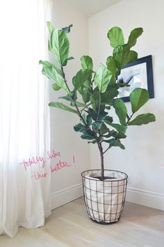 wishing i had the right space for one of these little guys- fiddle leaf fig