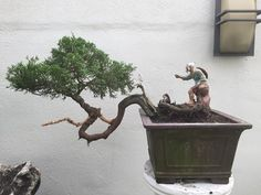 Speaking Out: The mythical bonsai