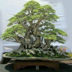 Are you interested in getting an indoor bonsai tree? If you are, then you definitely need to learn about how you can take good care of your tree so that it will survive life indoors. Bonsai Tree Care, Indoor Bonsai Tree, Garden Terrarium, Bonsai Garden, Bonsai Forest, Plantas Bonsai, Japanese Garden Design, Japanese Gardens, Bonsai Styles