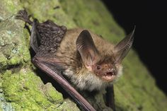 Forestry animals gallery: Forestry animals gallery: Bechsteins bat