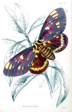 Darycampa regalis, a vintage illustration