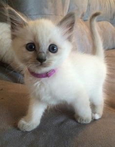 Cute Kittens That Stay Small Cute Cats Saying Funny Things Cute Kittens, Puppies And Kitties, Siamese Kittens, Fluffy Kittens, Lps Cats, Bengal Cats, Ragdoll Cats, Pretty Cats, Beautiful Cats