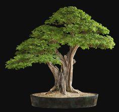 Nacho Marin, Venezuela, Brazilian Rain Tree (Pitecellobium Tortum), Height: 39 in, 100 cm