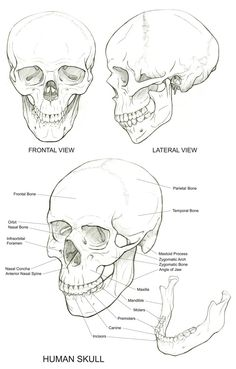Anatomy Drawing Tutorial Skull reference More - Anatomy Sketches, Anatomy Drawing, Anatomy Art, Drawing Sketches, Drawing Art, Surrealism Drawing, Body Anatomy, Body Drawing, Drawing Faces