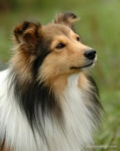 IF I ever get a dog, this is my Number 1 choice- a sable colored Shetland Sheepdog aka Sheltie. I had 2 growing up and they are the best dogs EVER!