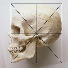 FH가 수평에 맞게 놓여진 여성 두개골로 보이는 사진. 수직선을 내려보면 Nasion, ANS 등이 어느정도 앞뒤로 돌출 되는지 비교할 수 있다. 20152399b1a4851a9c7ab7f20024c812.jpg (400×400)