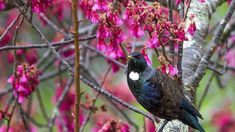 Signs the elusive tūī may slowly be returning to Canterbury   Stuff.co.nz School Strike, Ruffled Feathers, And July, Local Parks, Environmentalist, Canterbury, May, Habitats, Birds