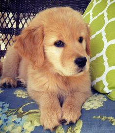 Lily the Golden Retriever