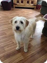 Image Result For Norfolk Terrier Maltese Mix Norfolk Terrier Dog Adoption Terrier Mix