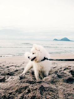 Let's go this way, Samoyed puppy on the beach Mais Baby Animals Pictures, Animals And Pets, Cute Animals, Samoyed Dogs, Pet Life, White Dogs, Family Dogs, Cute Puppies, Dog Breeds