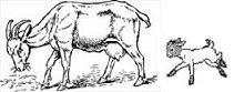 Goat DUE DATE CALCULATOR