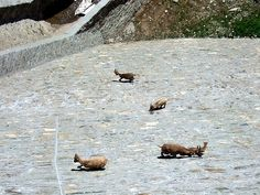 Ibex Goats engage in increasingly bizarre and perilous feats of climbing on this dam in Italy. They lick the salt off the rocks.