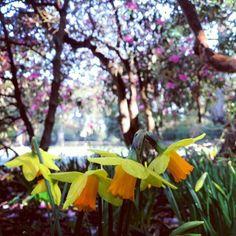Cornish daffodils at Tregothnan Estate, Truro #loveCornwall http://www.visitcornwall.com/things-to-do/south-cornwall/truro/roseland/tregothnan-estate