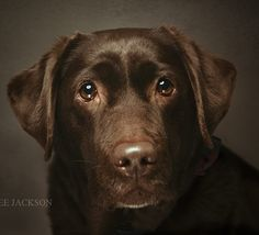 Chocolate Labrador Retriever Lab