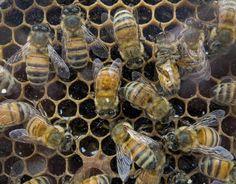 Los apicultores de EEUU pierden un 42% de sus colonias de abejas en un año
