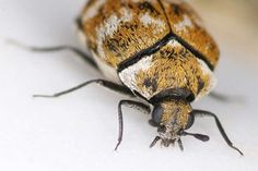 How to get rid of carpet beetles? Remedies for carpet beetles. Tips to control carpet beetles. Best Pest Control, Pest Control Services, Bug Control, Types Of Bugs, Types Of Insects, Get Rid Of Pigeons, Insect Identification, Stink Bugs, Bees And Wasps