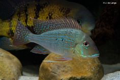 Geophagus-sp-altifrons-Rio-Negro