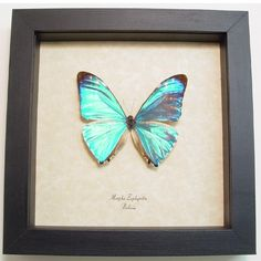 Goth Shopaholic: Framed Dead Insects and Butterflies for Macabre, Quirky Gift-Giving Butterfly Gifts, Butterfly Frame, Butterfly Design, Cool Insects, Morpho Butterfly, Quirky Gifts, Macabre, Really Cool Stuff, Goth